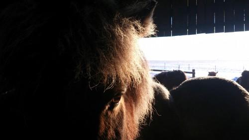 Hästar flockas i lösdriften