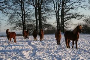 Snöglada hästar på vila