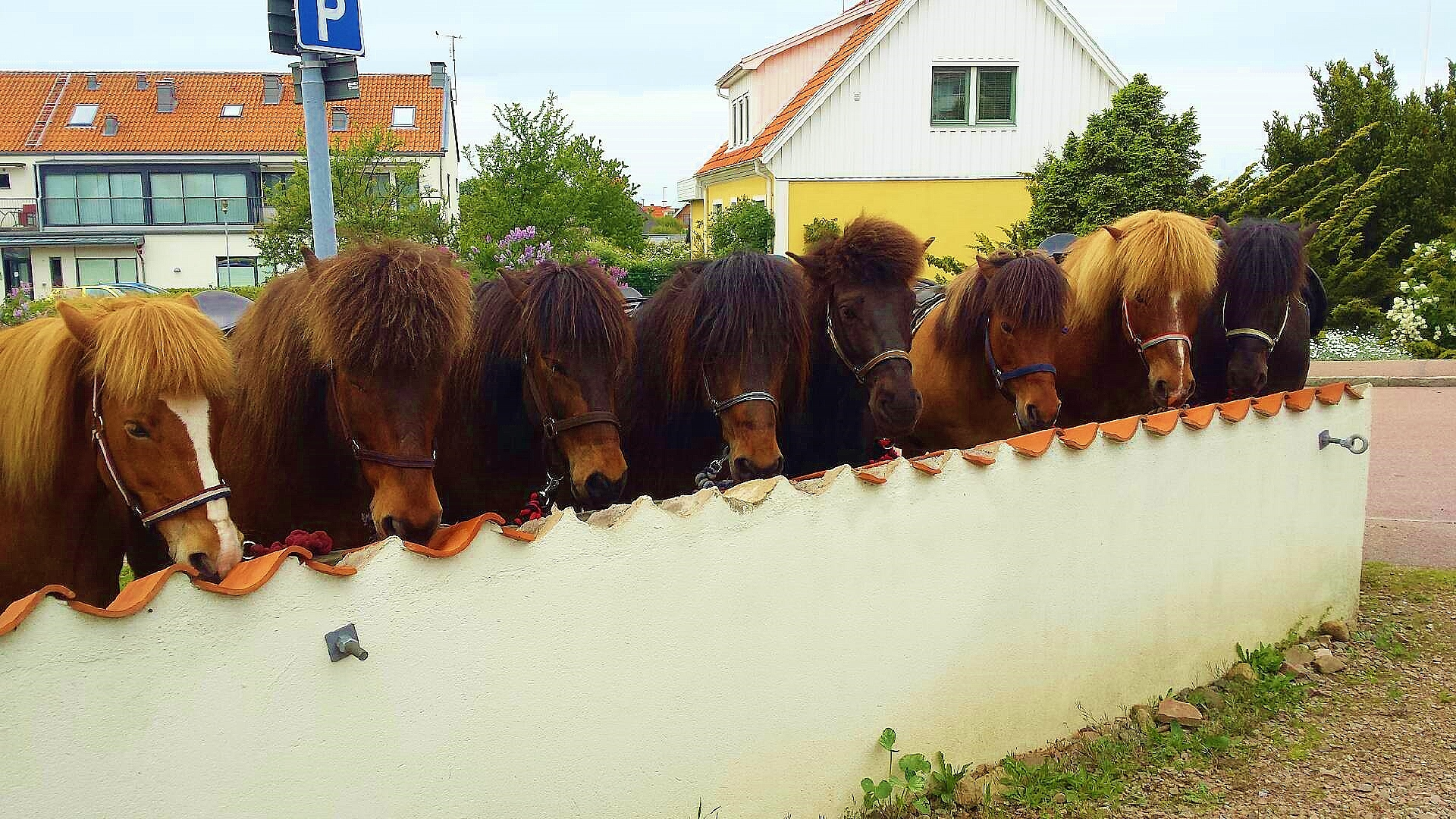 Hästarna vilar i Mölle