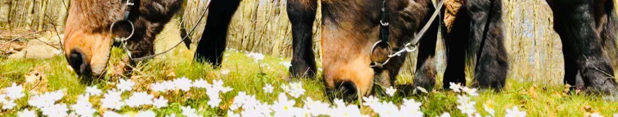 Kullabergs Islandshästar
