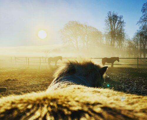 Dimma och morgonhästar